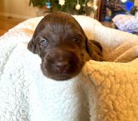 Labradoodle Puppies for sale in Kingsport, TN, USA. price: NA
