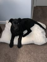 Labradoodle Puppies for sale in Odenton, MD, USA. price: NA