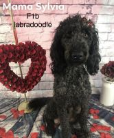 Labradoodle Puppies for sale in Clara City, MN 56222, USA. price: NA