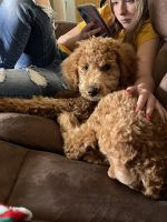 Labradoodle Puppies for sale in Oak Hill, OH 45656, USA. price: NA
