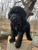 Labradoodle Puppies for sale in Marion, OH 43302, USA. price: NA