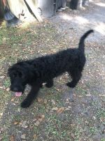 Labradoodle Puppies for sale in Jacksonville, FL, USA. price: NA