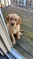 Labradoodle Puppies for sale in Plainsboro Township, NJ, USA. price: NA
