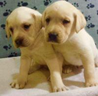 Labradoodle Puppies for sale in Santa Cruz, CA, USA. price: NA