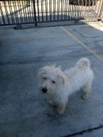 Labradoodle Puppies for sale in Bell, CA, USA. price: NA