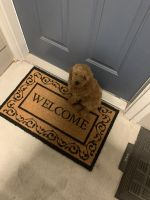 Labradoodle Puppies for sale in Dallas, TX, USA. price: NA