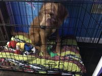 Labradoodle Puppies for sale in Meriden, CT, USA. price: NA