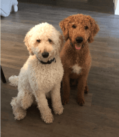 Labradoodle Puppies for sale in 11 Westcedar Ln, Palm Coast, FL 32164, USA. price: NA