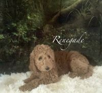 Labradoodle Puppies for sale in North Adams, MI 49262, USA. price: NA