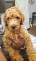 Labradoodle Puppies for sale in Tifton, GA, USA. price: NA
