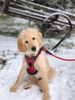 Labradoodle Puppies for sale in Hillsboro, OR, USA. price: NA