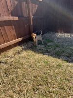 Labradoodle Puppies for sale in Harker Heights, TX, USA. price: NA