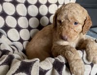 Labradoodle Puppies for sale in Carol Stream, IL, USA. price: NA