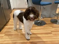 Labradoodle Puppies for sale in Middleborough, MA, USA. price: NA