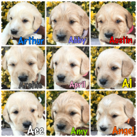 Labradoodle Puppies for sale in Pomona, CA, USA. price: NA