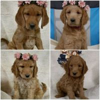 Labradoodle Puppies for sale in Atwater, MN 56209, USA. price: NA