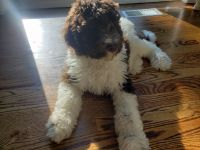 Labradoodle Puppies for sale in Central Islip, NY 11722, USA. price: NA