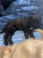 Labradoodle Puppies for sale in Louisville, KY, USA. price: NA