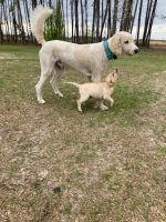 Labradoodle Puppies for sale in Panama City Beach, FL, USA. price: NA