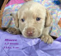 Labradoodle Puppies for sale in Orange Park, FL 32073, USA. price: NA