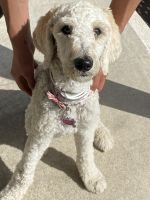 Labradoodle Puppies for sale in Ontario, CA, USA. price: NA