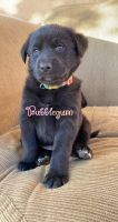 Labradoodle Puppies for sale in 5554 Tilton Ave, Riverside, CA 92509, USA. price: NA
