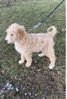 Labradoodle Puppies for sale in Pikeville, KY 41501, USA. price: NA