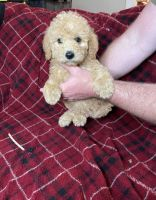 Labradoodle Puppies for sale in San Diego, CA 92103, USA. price: NA