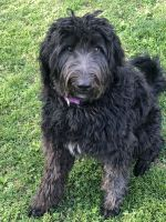 Labradoodle Puppies for sale in Princeton, IN 47670, USA. price: NA