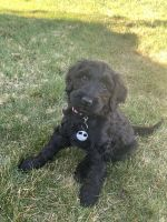 Labradoodle Puppies for sale in Wenatchee, WA 98801, USA. price: NA