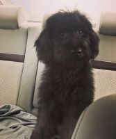Labradoodle Puppies for sale in Worcester, MA, USA. price: NA