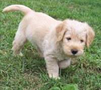 Labradoodle Puppies for sale in Winston-Salem, NC, USA. price: NA