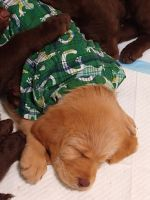 Labradoodle Puppies for sale in Spokane Valley, WA, USA. price: NA