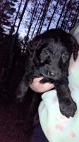 Labradoodle Puppies for sale in Wittenberg, WI 54499, USA. price: NA