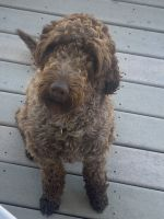 Labradoodle Puppies for sale in Denver, CO, USA. price: NA