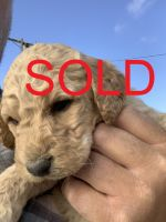 Labradoodle Puppies for sale in Newberry Springs, CA 92365, USA. price: NA