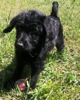 Labradoodle Puppies for sale in Decatur, GA 30034, USA. price: NA