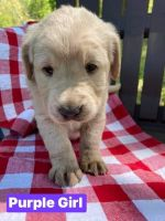 Labradoodle Puppies for sale in McAlester, OK 74501, USA. price: NA