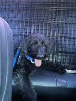 Labradoodle Puppies for sale in Las Vegas, NV 89128, USA. price: NA