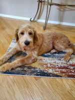 Labradoodle Puppies for sale in Oceanside, CA, USA. price: NA