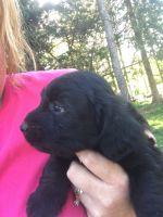 Labradoodle Puppies for sale in Buffalo, MO 65622, USA. price: NA