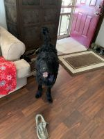 Labradoodle Puppies for sale in Salem, IN 47167, USA. price: NA
