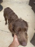 Labradoodle Puppies for sale in Wake Forest, NC 27587, USA. price: NA