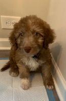 Labradoodle Puppies for sale in Atlanta, GA, USA. price: NA