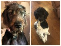 Labradoodle Puppies for sale in Braselton, GA, USA. price: NA