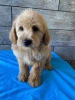 Labradoodle Puppies for sale in Richmond, IL 60071, USA. price: NA