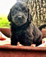 Labradoodle Puppies for sale in Creal Springs, IL 62922, USA. price: NA