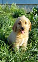 Labradoodle Puppies for sale in Kalona, IA 52247, USA. price: NA