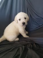 Labradoodle Puppies for sale in Gilbert, AZ, USA. price: NA
