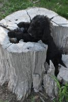 Labradoodle Puppies for sale in Wilsey, KS 66873, USA. price: NA